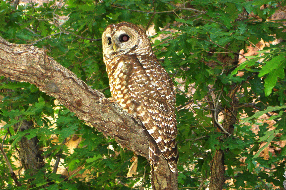 Mexican Spotted Owl